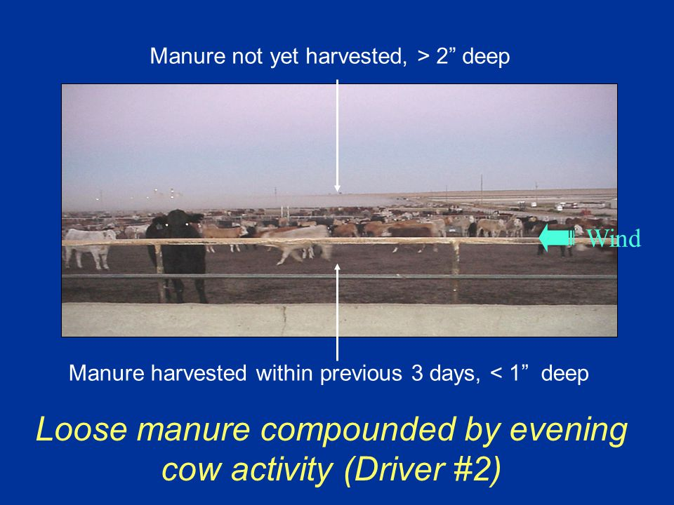 Manure harvested within previous 3 days, < 1 deep Wind Manure not yet harvested, > 2 deep Loose manure compounded by evening cow activity (Driver #2)