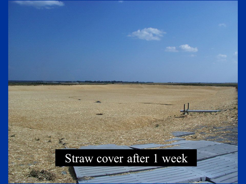 Straw cover after 1 week