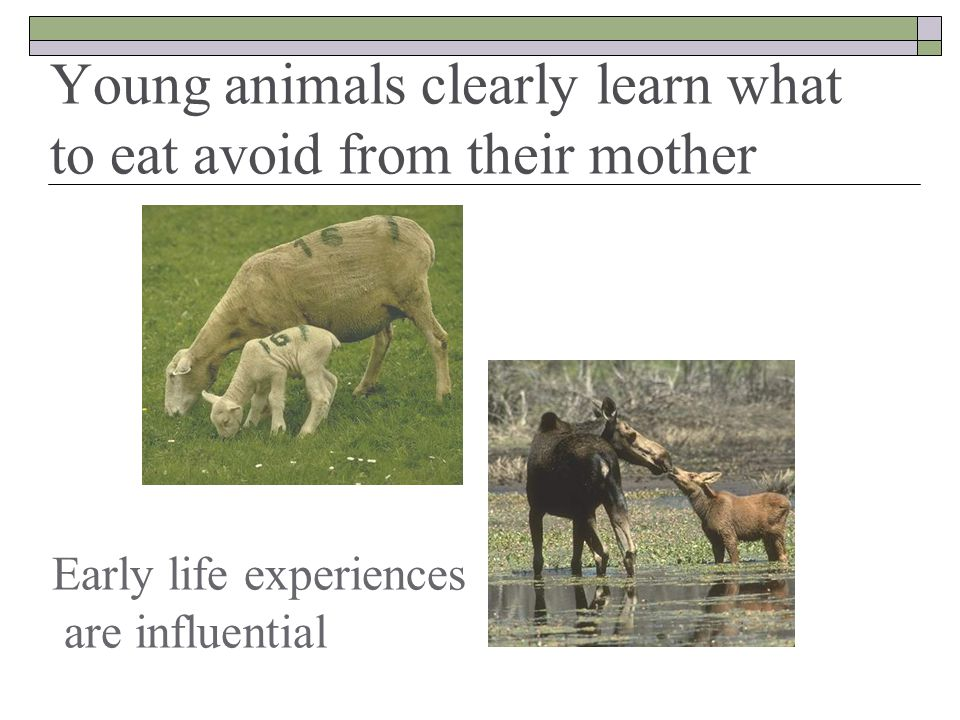 Early life experiences are influential Young animals clearly learn what to eat avoid from their mother