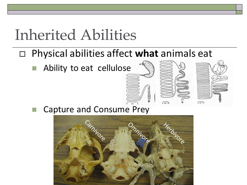  Physical abilities affect what animals eat Ability to eat cellulose Capture and Consume Prey Inherited Abilities Carnivore Omnivore Herbivore