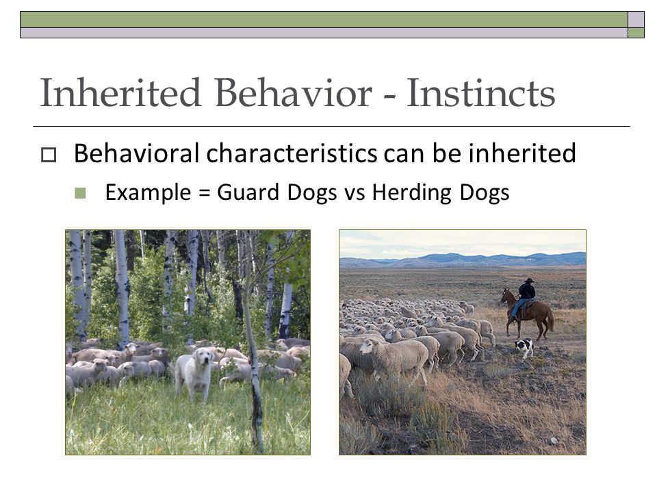  Behavioral characteristics can be inherited Example = Guard Dogs vs Herding Dogs Inherited Behavior - Instincts
