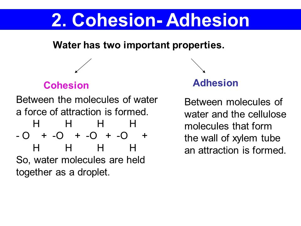 2. Cohesion- Adhesion Water has two important properties. Between the molecules of water a force of attraction is formed. H H H H - O + -O + -O + -O +