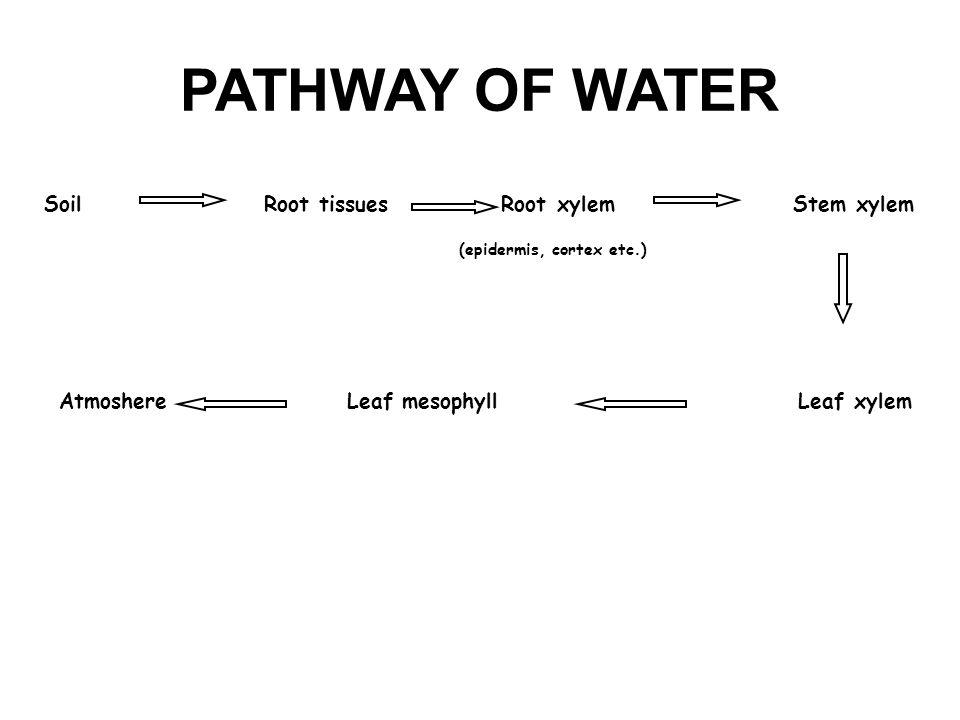 PATHWAY OF WATER Soil Root tissues Root xylem Stem xylem Atmoshere Leaf mesophyll Leaf xylem (epidermis, cortex etc.)