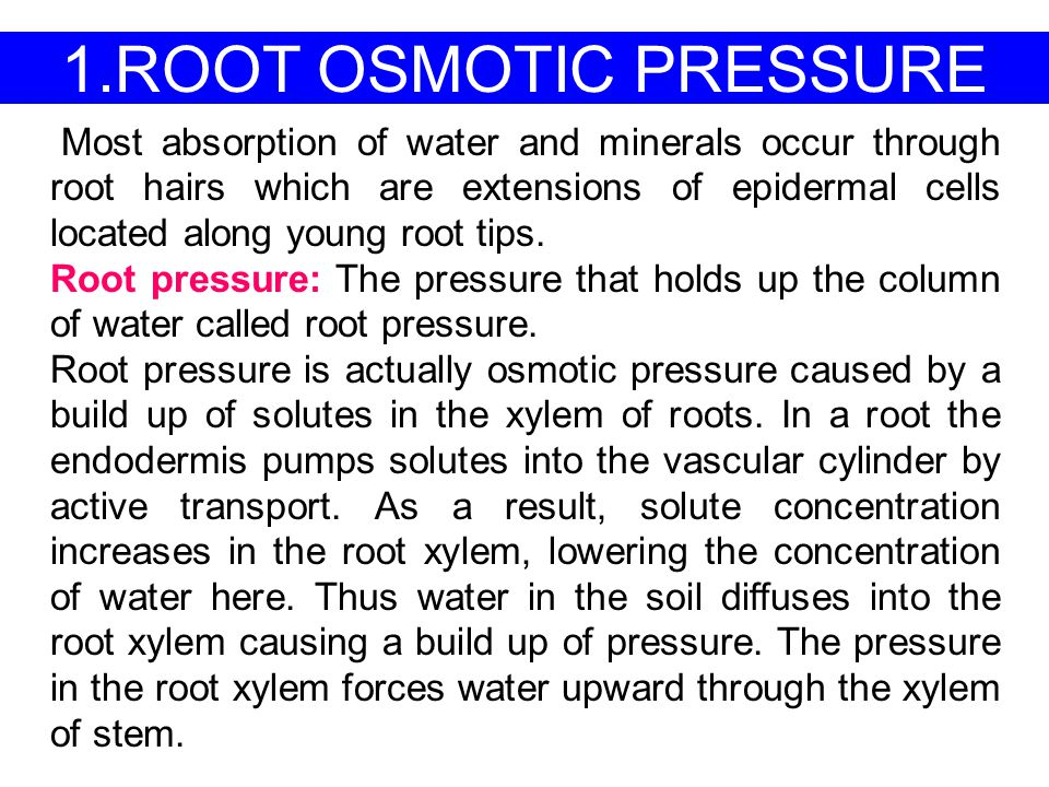 1.ROOT OSMOTIC PRESSURE Most absorption of water and minerals occur through root hairs which are extensions of epidermal cells located along young roo