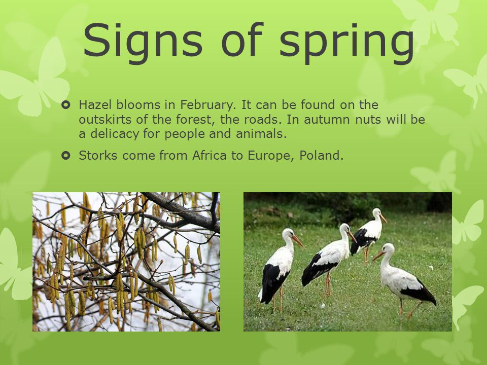 Signs of spring  Hazel blooms in February. It can be found on the outskirts of the forest, the roads. In autumn nuts will be a delicacy for people an