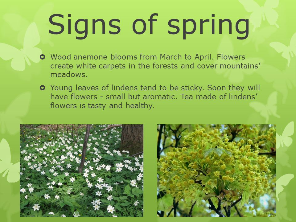 Signs of spring  Wood anemone blooms from March to April.