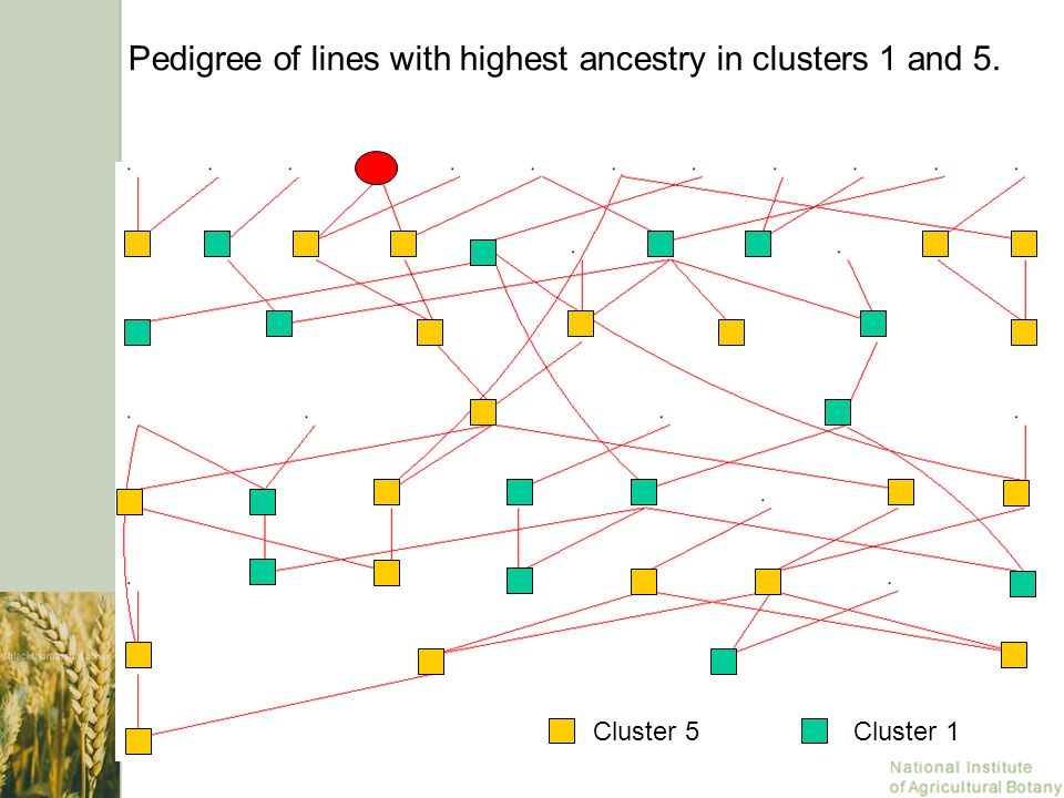 Pedigree of lines with highest ancestry in clusters 1 and 5. Cluster 1Cluster 5