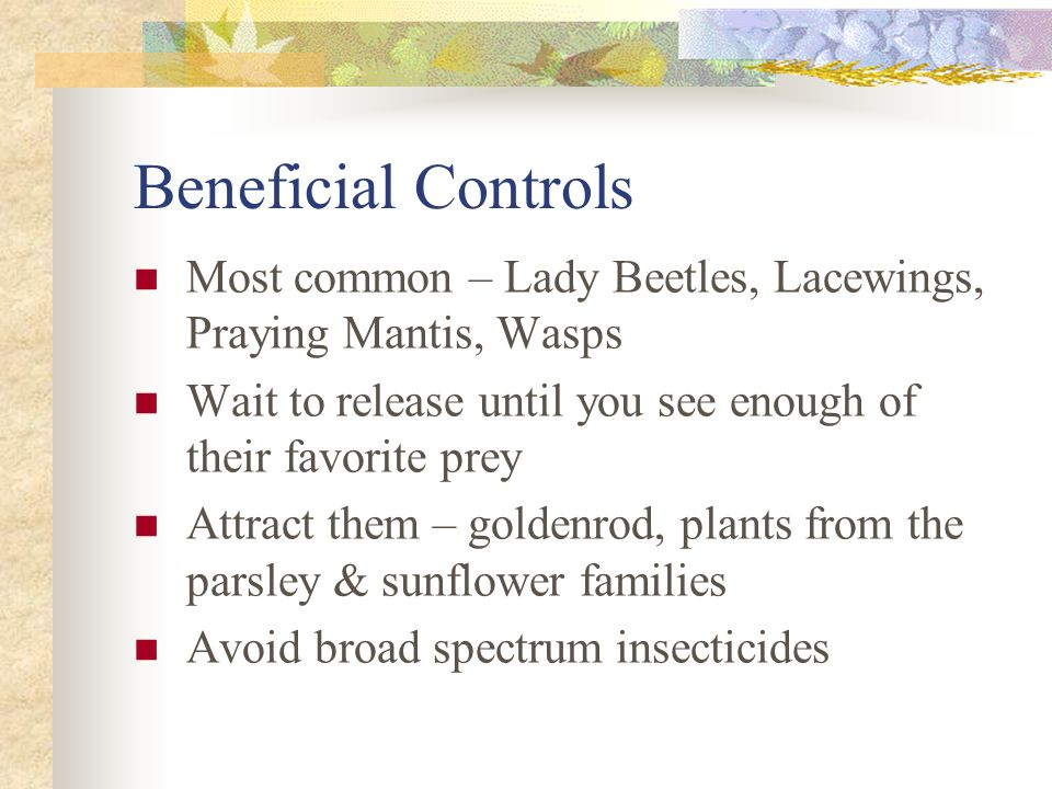 Beneficial Controls Most common – Lady Beetles, Lacewings, Praying Mantis, Wasps Wait to release until you see enough of their favorite prey Attract t