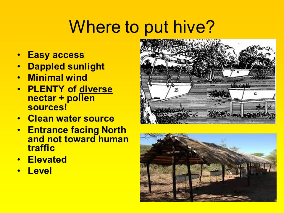 Where to put hive? Easy access Dappled sunlight Minimal wind PLENTY of diverse nectar + pollen sources! Clean water source Entrance facing North and n