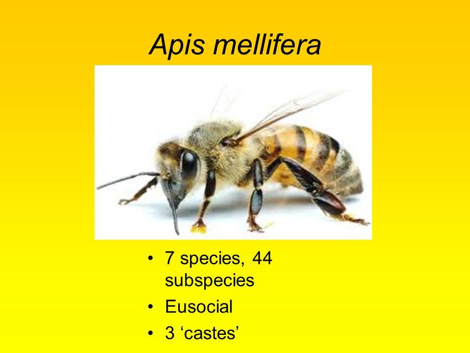 Apis mellifera 7 species, 44 subspecies Eusocial 3 'castes'