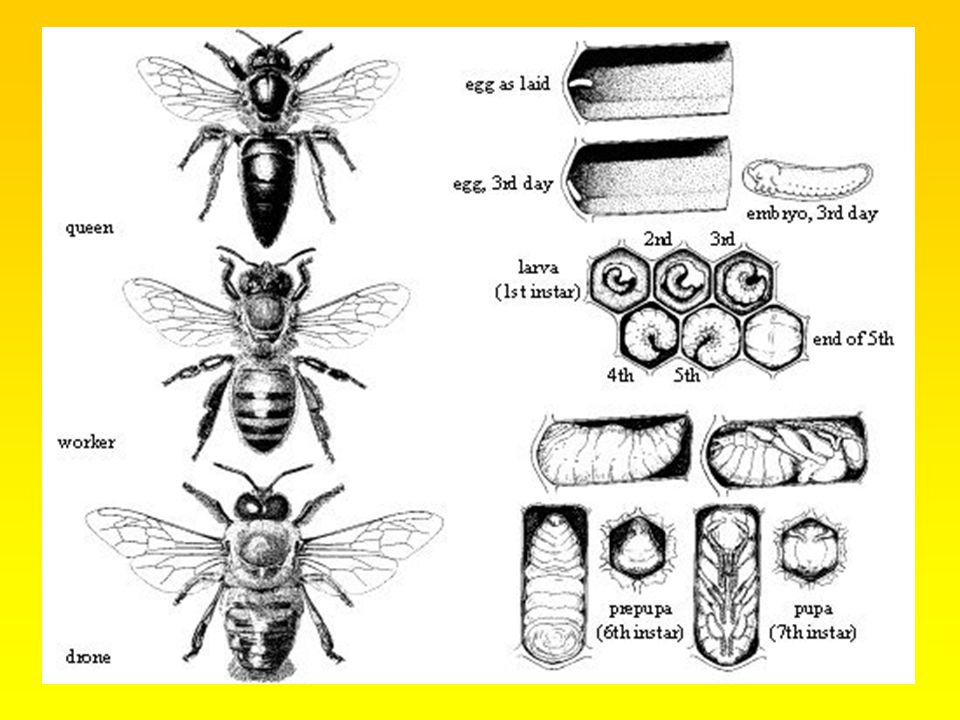 Domestication 4500 years ago Egypt European 'straw skep,'- monks Mid 1800's apiculture took a turn toward the industrial.