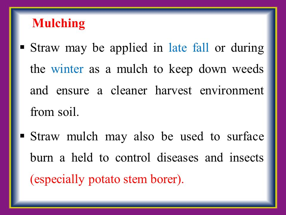 Mulching  Straw may be applied in late fall or during the winter as a mulch to keep down weeds and ensure a cleaner harvest environment from soil. 