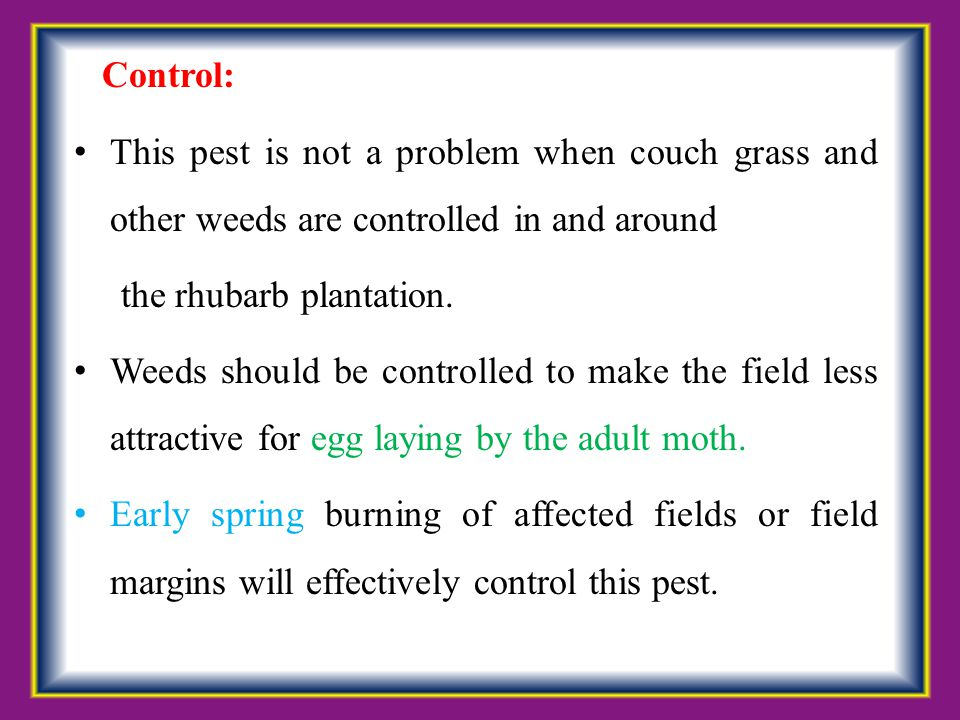 Control: This pest is not a problem when couch grass and other weeds are controlled in and around the rhubarb plantation. Weeds should be controlled t
