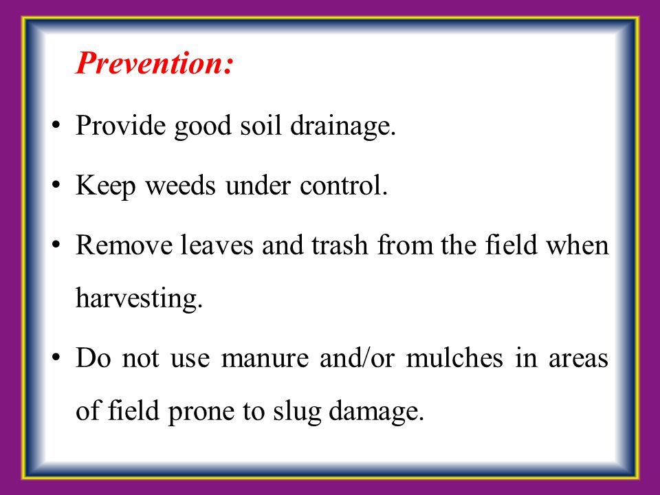 Prevention: Provide good soil drainage. Keep weeds under control. Remove leaves and trash from the field when harvesting. Do not use manure and/or mul