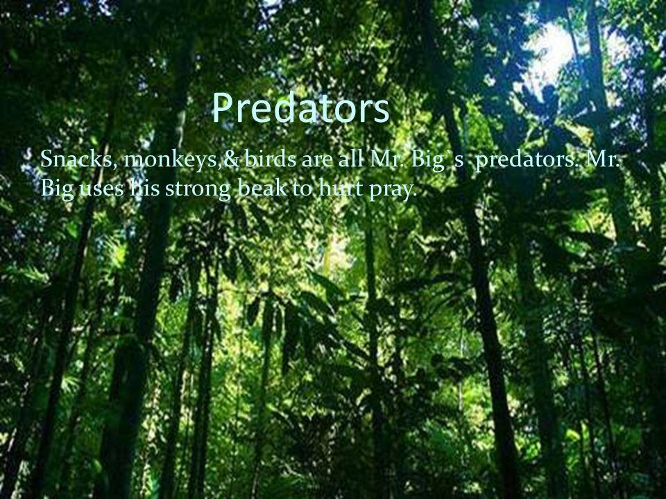 Predators Snacks, monkeys,& birds are all Mr. Big`s predators. Mr. Big uses his strong beak to hurt pray.