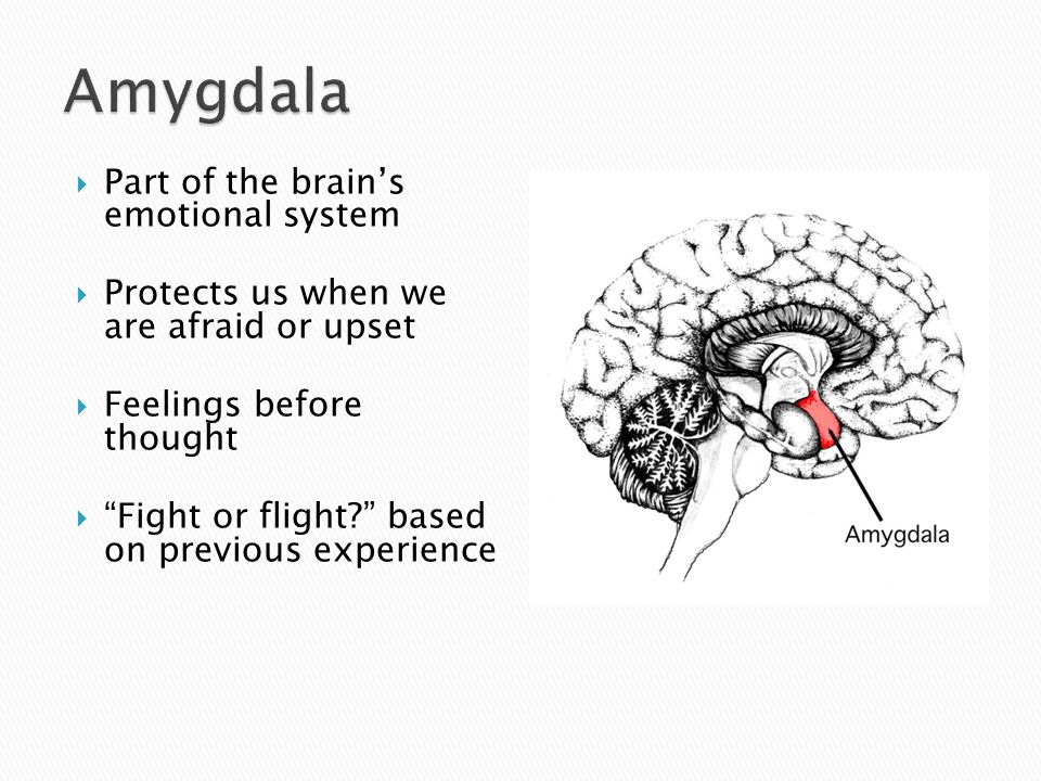  Part of the brain's emotional system  Protects us when we are afraid or upset  Feelings before thought  Fight or flight based on previous experience