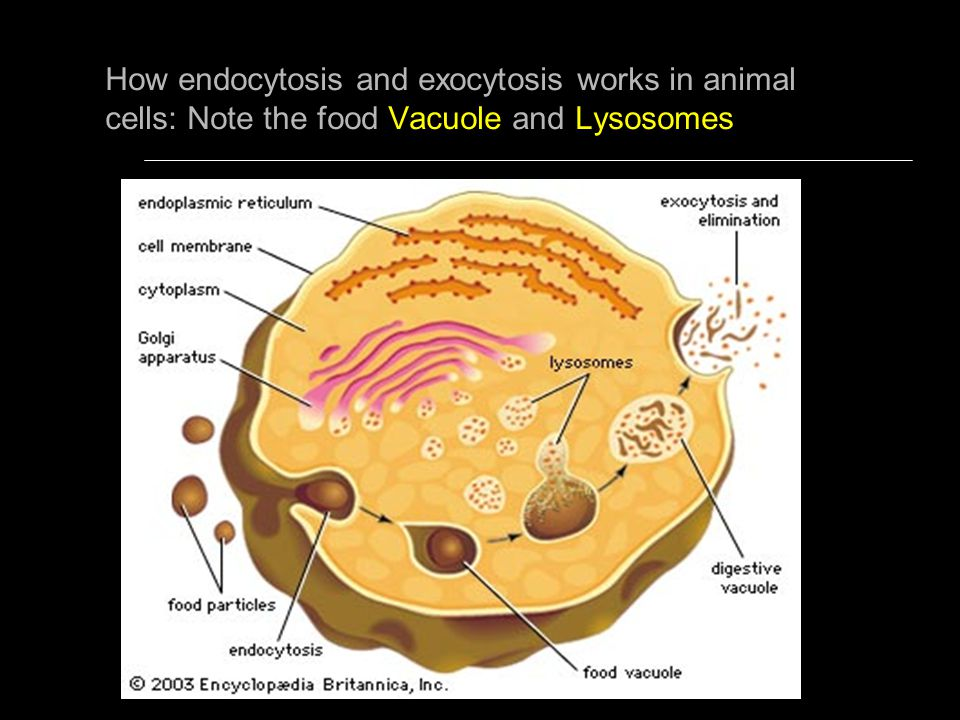 How endocytosis and exocytosis works in animal cells: Note the food Vacuole and Lysosomes