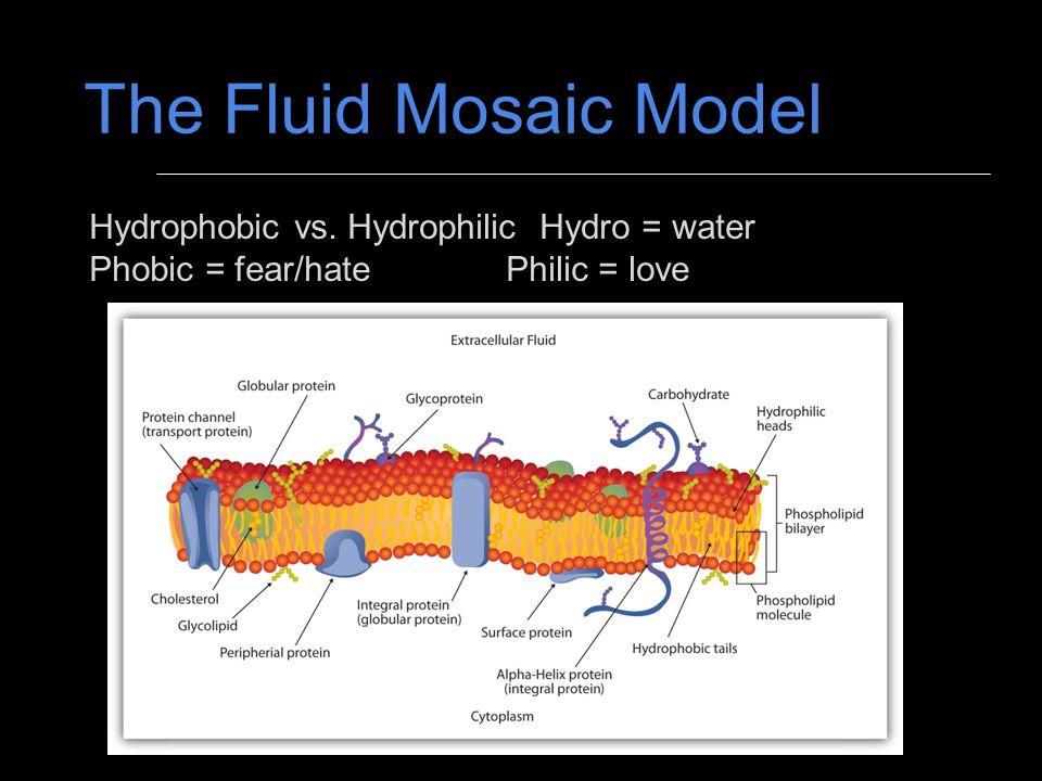 The Fluid Mosaic Model Hydrophobic vs. Hydrophilic Hydro = water Phobic = fear/hatePhilic = love