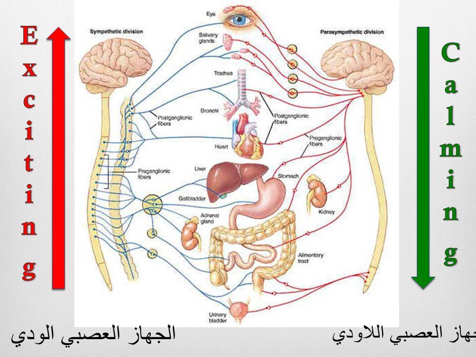 الجهاز العصبي اللاودي الجهاز العصبي الودي