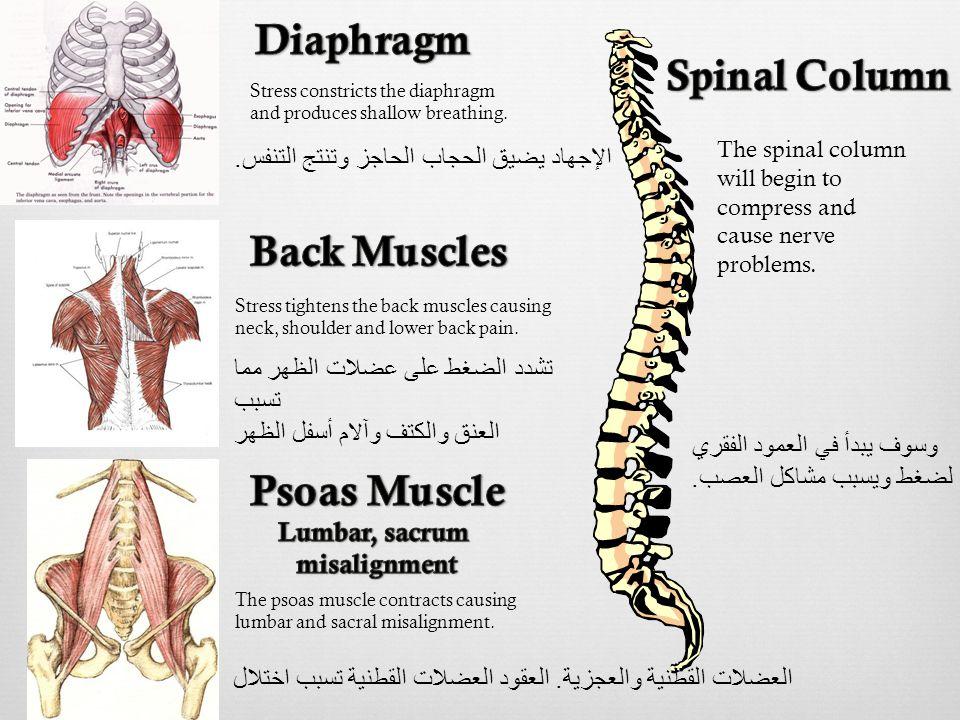 الإجهاد يضيق الحجاب الحاجز وتنتج التنفس. Stress constricts the diaphragm and produces shallow breathing. Stress tightens the back muscles causing neck