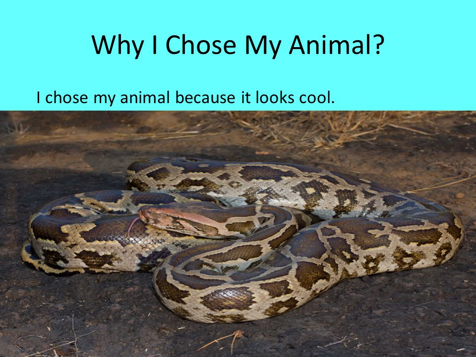 Why I Chose My Animal? I chose my animal because it looks cool.