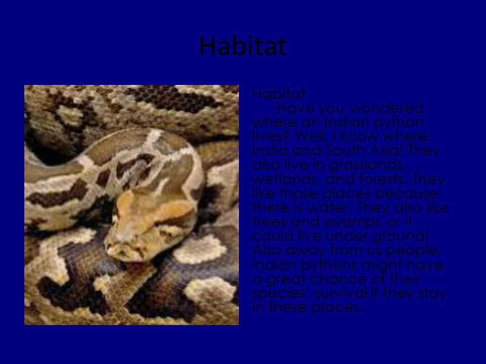 Diet Food An Indian rock python is a carnivore.It eats many things.