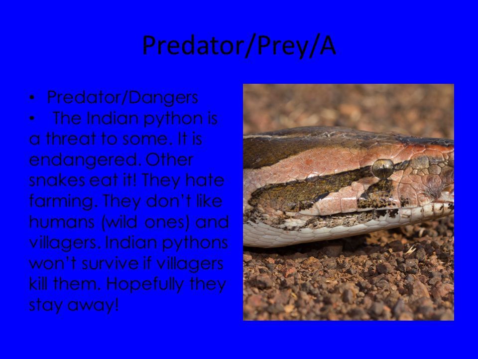 Predator/Prey/A Predator/Dangers The Indian python is a threat to some.