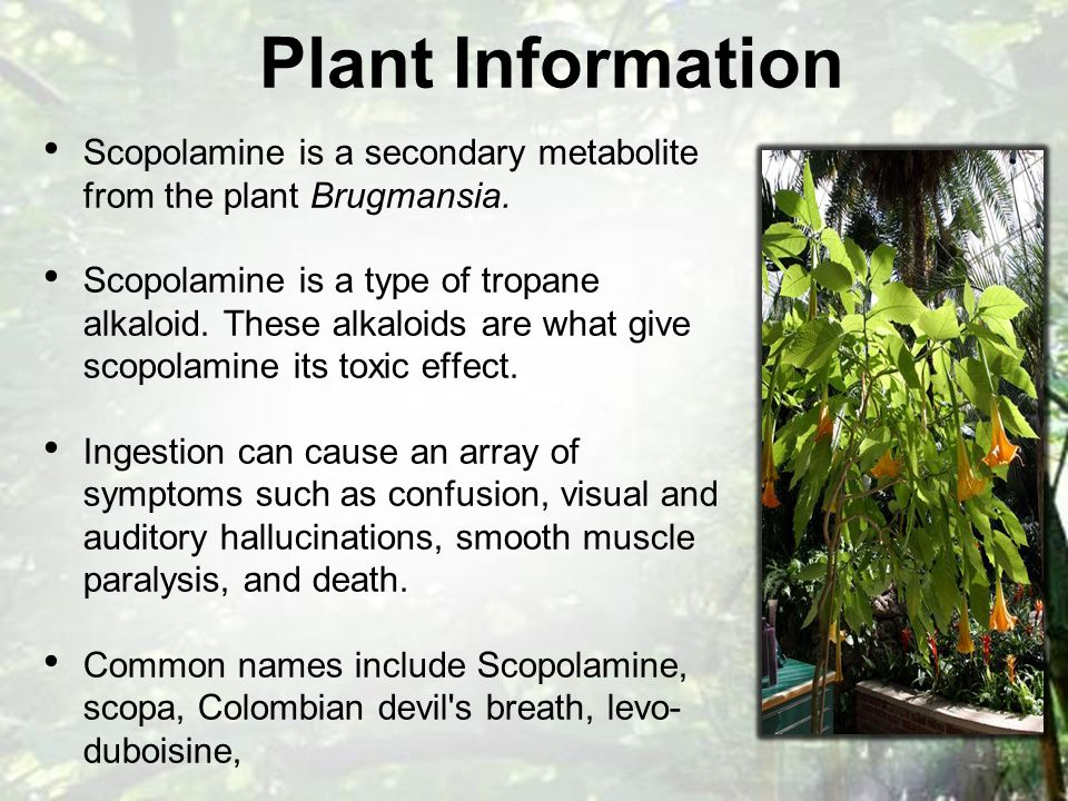 Scopolamine is a secondary metabolite from the plant Brugmansia.