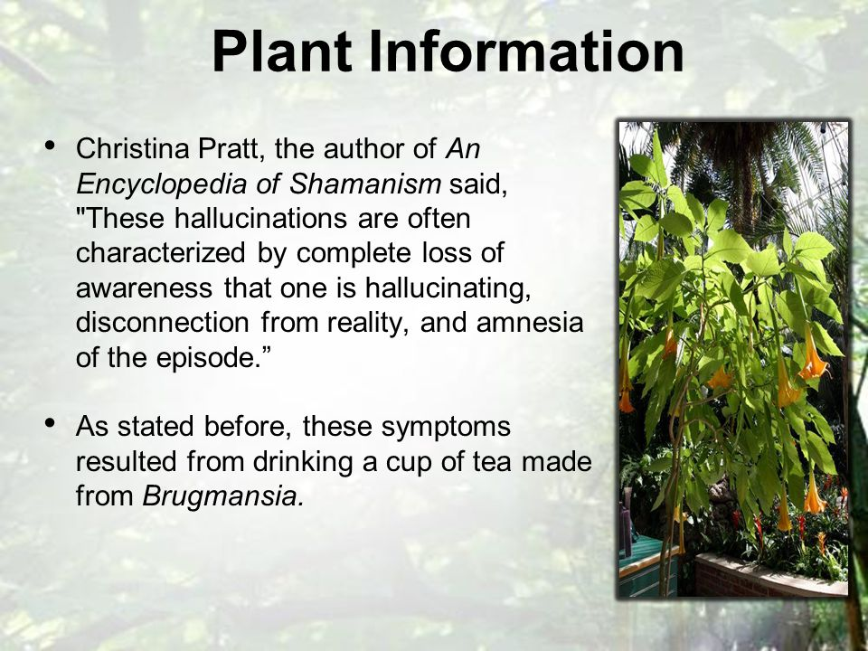 Christina Pratt, the author of An Encyclopedia of Shamanism said, These hallucinations are often characterized by complete loss of awareness that one is hallucinating, disconnection from reality, and amnesia of the episode. As stated before, these symptoms resulted from drinking a cup of tea made from Brugmansia.