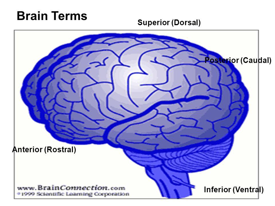 Brain Terms Superior (Dorsal) Posterior (Caudal) Inferior (Ventral) Anterior (Rostral)