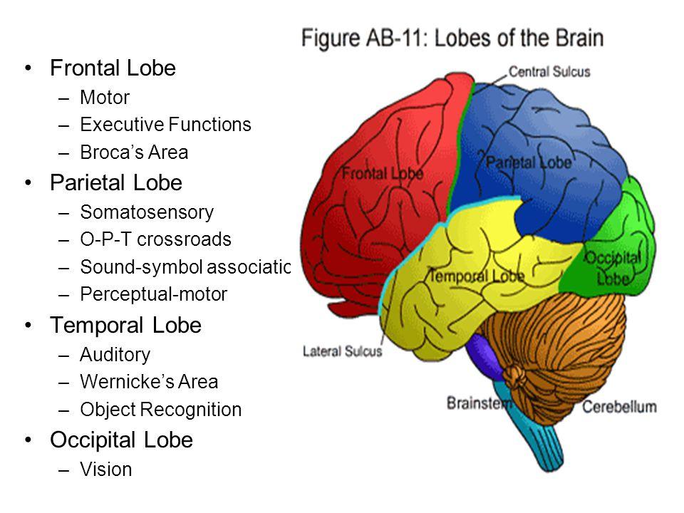 Frontal Lobe –Motor –Executive Functions –Broca's Area Parietal Lobe –Somatosensory –O-P-T crossroads –Sound-symbol association –Perceptual-motor Temporal Lobe –Auditory –Wernicke's Area –Object Recognition Occipital Lobe –Vision