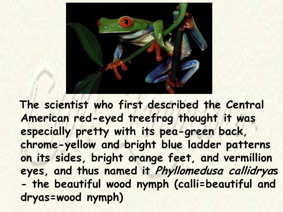 The scientist who first described the Central American red-eyed treefrog thought it was especially pretty with its pea-green back, chrome-yellow and bright blue ladder patterns on its sides, bright orange feet, and vermillion eyes, and thus named it Phyllomedusa callidryas - the beautiful wood nymph (calli=beautiful and dryas=wood nymph)