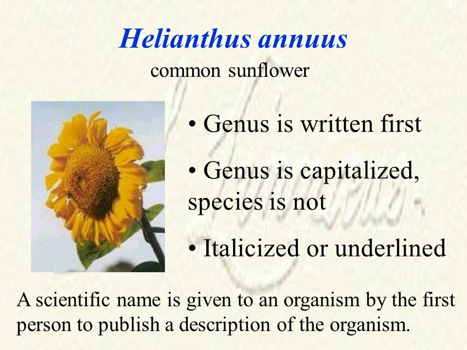 Helianthus annuus common sunflower Genus is written first Genus is capitalized, species is not Italicized or underlined A scientific name is given to an organism by the first person to publish a description of the organism.