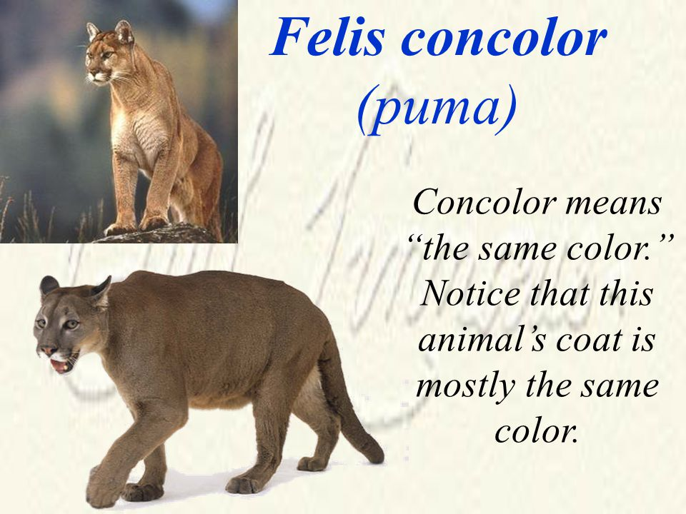 Felis concolor (puma) Concolor means the same color. Notice that this animal's coat is mostly the same color.