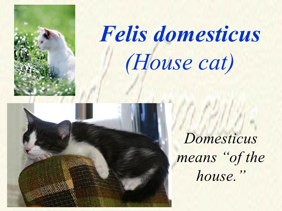Felis domesticus (House cat) Domesticus means of the house.