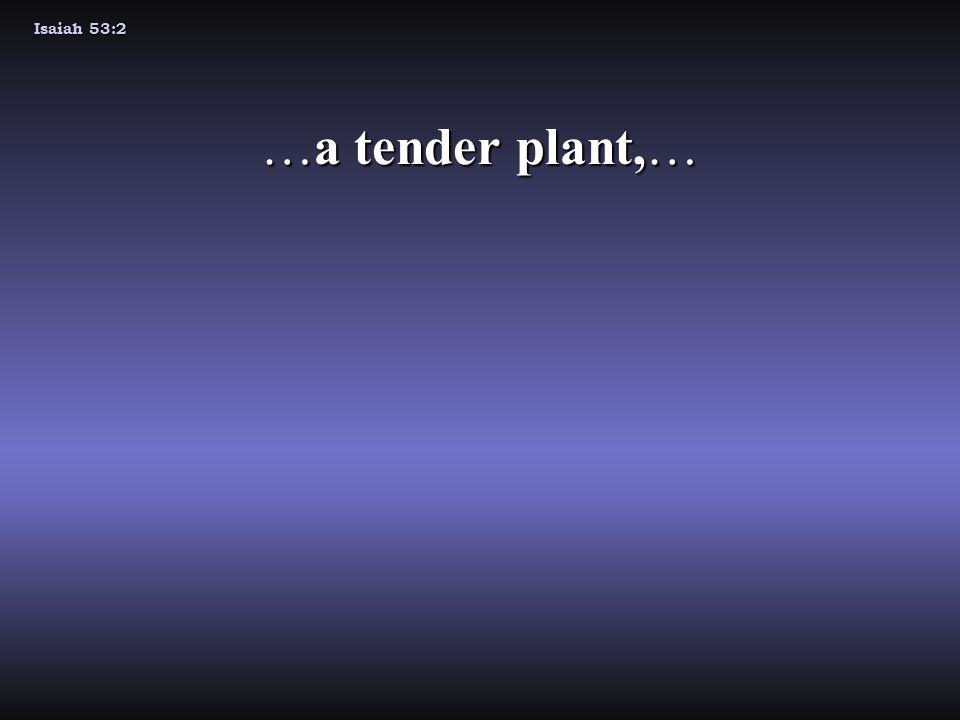 Isaiah 53:2 …a tender plant,…