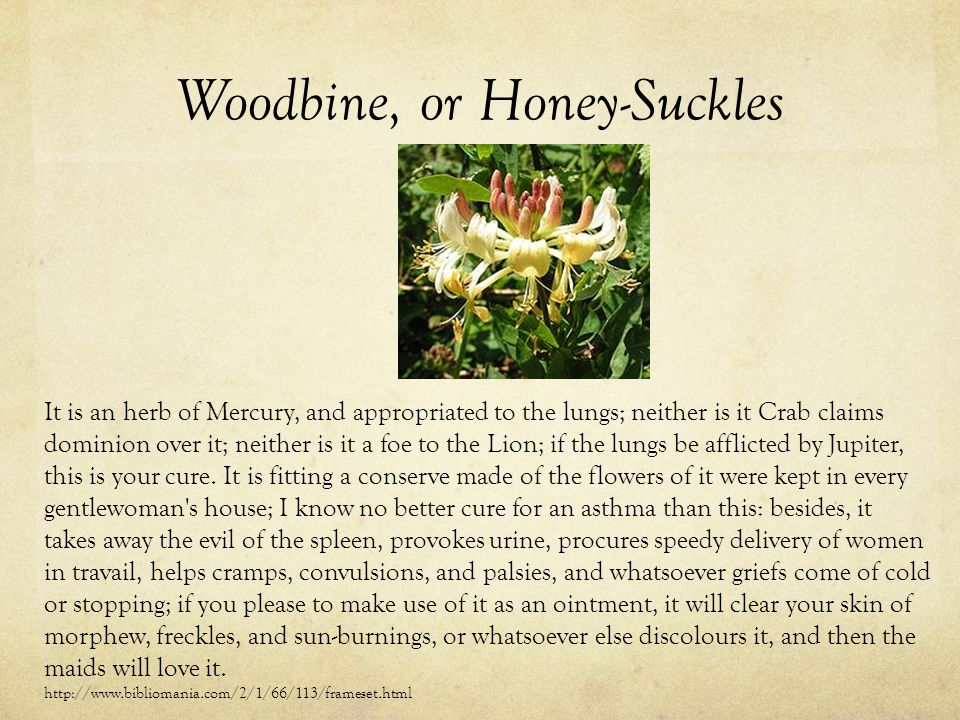 Woodbine, or Honey-Suckles It is an herb of Mercury, and appropriated to the lungs; neither is it Crab claims dominion over it; neither is it a foe to the Lion; if the lungs be afflicted by Jupiter, this is your cure.