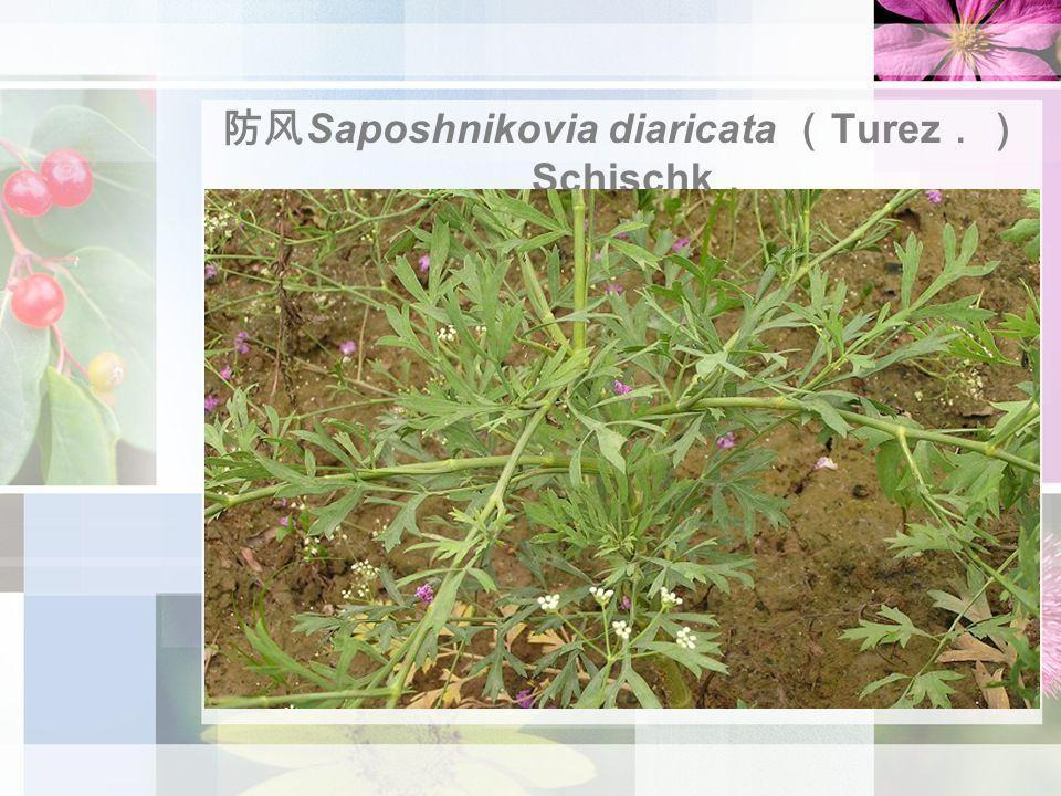 防风 Saposhnikovia diaricata ( Turez .) Schischk .
