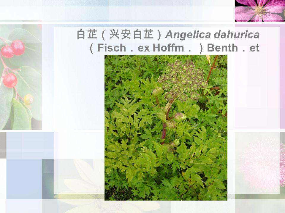 白芷(兴安白芷) Angelica dahurica ( Fisch . ex Hoffm .) Benth . et Hook . f .