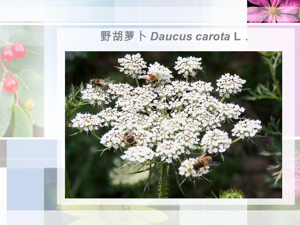 野胡萝卜 Daucus carota L .