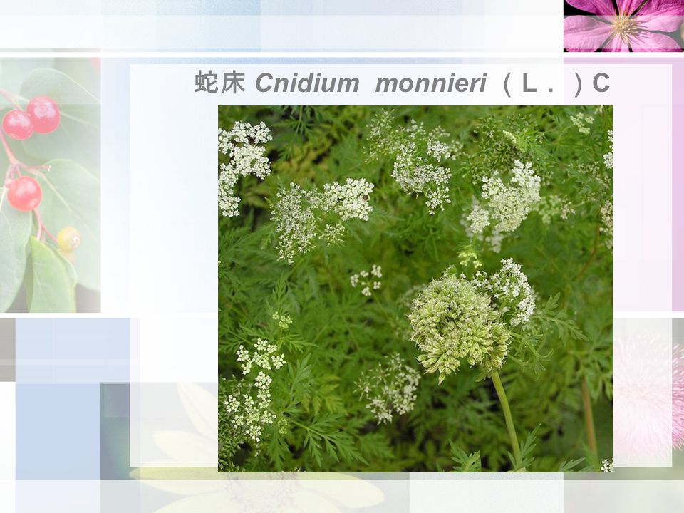 蛇床 Cnidium monnieri ( L .) C