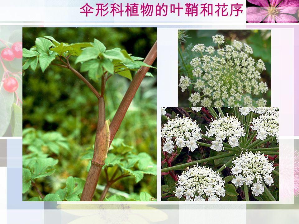 伞形科植物的叶鞘和花序