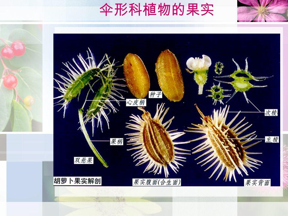 伞形科植物的果实