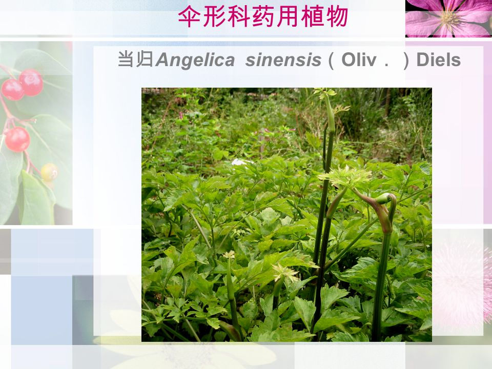 伞形科药用植物 当归 Angelica sinensis ( Oliv .) Diels