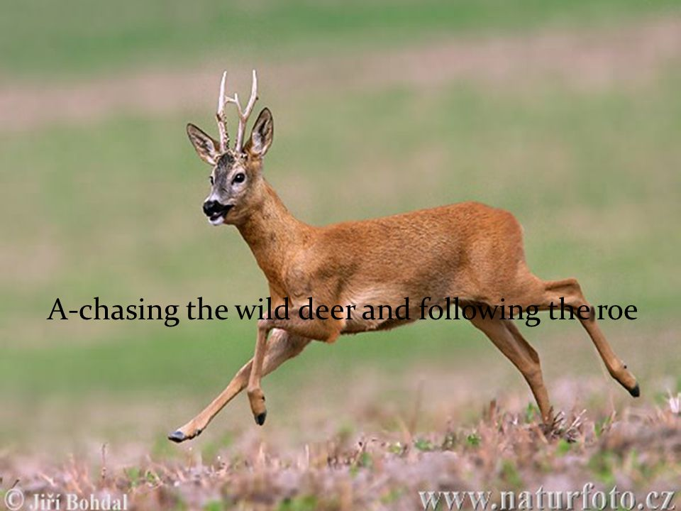 A-chasing the wild deer and following the roe