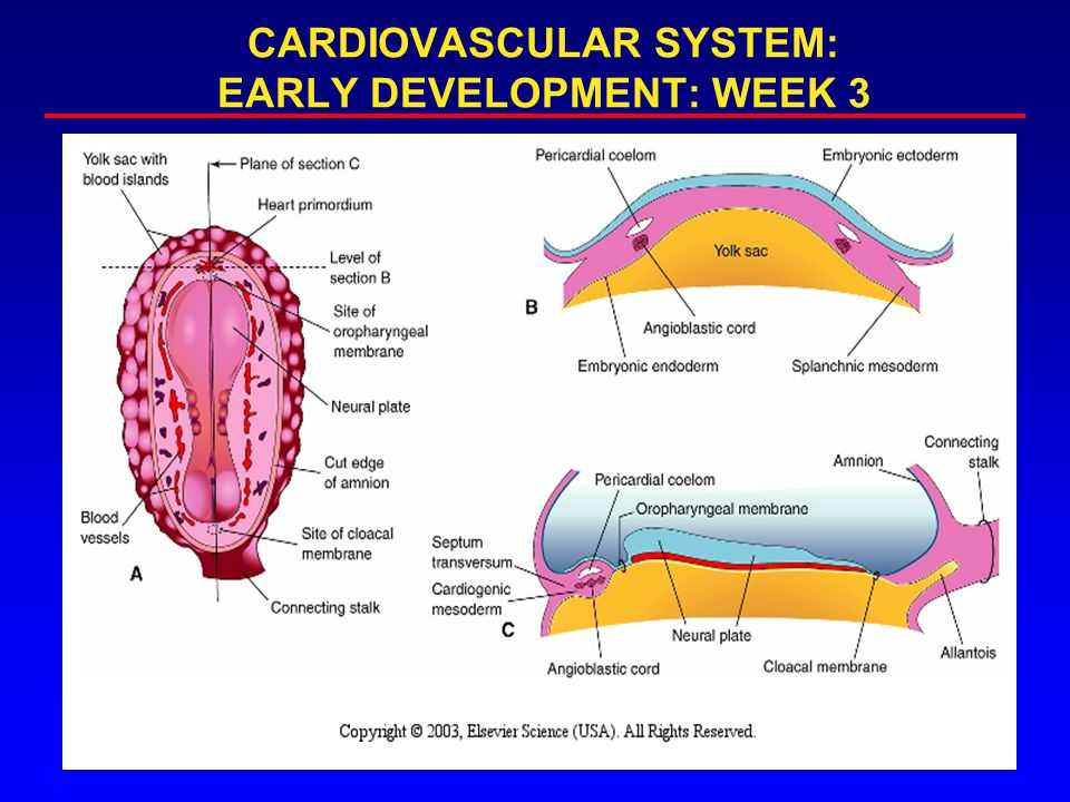 Outline Vasculogenesis Embryonic Folding Formation of the Primary Heart Tube Looping Atrial Septation Primitive Ventricular Septum Atrioventricular Canal/Endocardial Cushions Conotruncal Septation Ventricular septation Congenital Heart Defects
