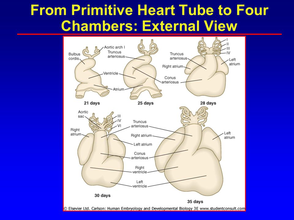 Heart Formation con't Weeks 5-8 –SVC, IVC form –Right and Left Atrium divide –Ventricles start to form –Aorta and pulmonary arteries Weeks 8-12 –Ventricles and mitral and tricuspid valves –Aorta and pulmonary artery, aortic arch Week 12:Fetal Circulation begins
