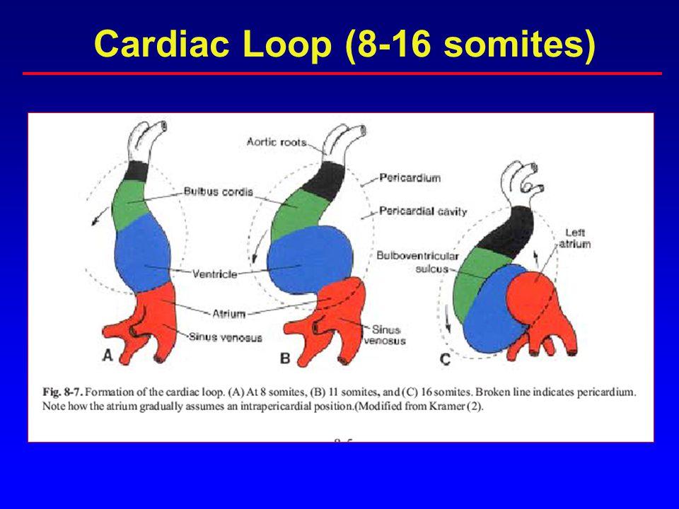 PRIMITIVE HEART TUBE: WEEK 4