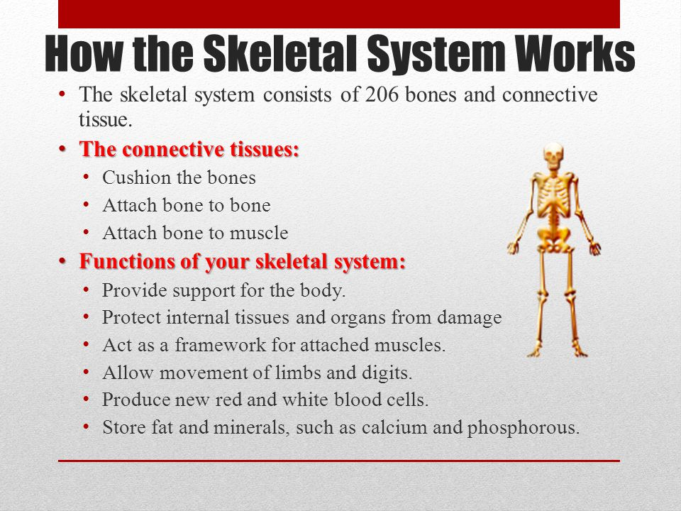 How the Skeletal System Works The skeletal system consists of 206 bones and connective tissue. The connective tissues: The connective tissues: Cushion