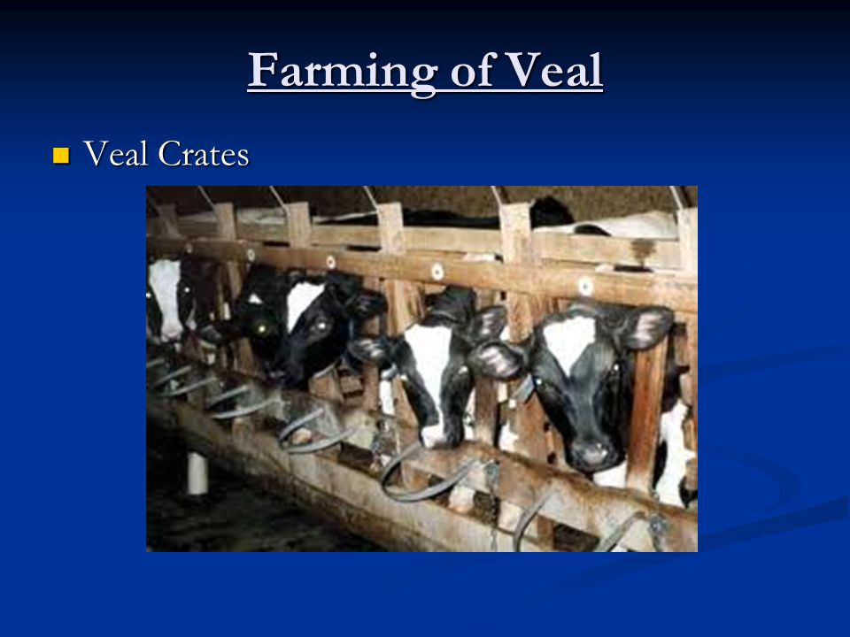 Farming of Veal Veal Crates Veal Crates
